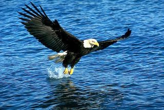 Eagle-wings-outstretched_2889